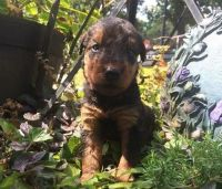 Airedale Terrier Puppies for sale in Cincinnati, OH, USA. price: NA