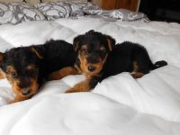 Airedale Terrier Puppies for sale in Indianapolis, IN, USA. price: NA