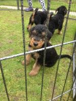 Airedale Terrier Puppies for sale in East Los Angeles, CA, USA. price: NA
