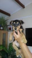 Airedale Terrier Puppies for sale in El Paso, TX, USA. price: NA