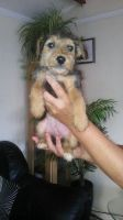 Airedale Terrier Puppies for sale in San Diego, CA, USA. price: NA
