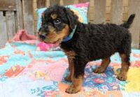 Airedale Terrier Puppies for sale in Stevinson, CA 95374, USA. price: NA