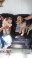 Airedale Terrier Puppies for sale in Sacramento, CA, USA. price: NA