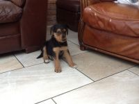 Airedale Terrier Puppies for sale in AR-98, Emerson, AR 71740, USA. price: NA