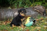 Airedale Terrier Puppies for sale in Maryland City, MD, USA. price: NA