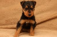 Airedale Terrier Puppies for sale in Seattle, WA 98103, USA. price: NA