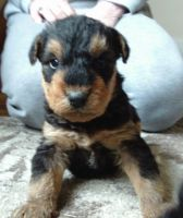 Airedale Terrier Puppies for sale in Hamilton, OH, USA. price: NA