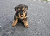 Airedale Terrier Puppies for sale in Seattle, WA, USA. price: NA