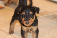 Airedale Terrier Puppies for sale in Phoenix St, Hempstead, NY 11550, USA. price: NA