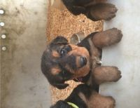 Airedale Terrier Puppies for sale in California St, San Francisco, CA, USA. price: NA