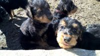 Airedale Terrier Puppies for sale in French Lick, IN 47432, USA. price: NA