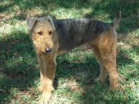 Airedale Terrier Puppies for sale in FL-64, Bradenton, FL, USA. price: NA