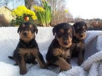Airedale Terrier Puppies for sale in Dallas, TX, USA. price: NA
