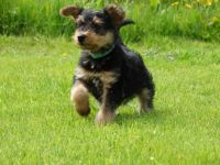 Airedale Terrier Puppies for sale in Jacksonville, FL 32226, USA. price: NA