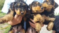 Airedale Terrier Puppies for sale in Abilene, Houston, TX 77020, USA. price: NA
