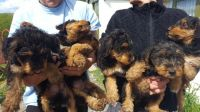 Airedale Terrier Puppies for sale in Michigan Ave, Inkster, MI 48141, USA. price: NA