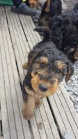Airedale Terrier Puppies for sale in Bloomfield Ave, Bloomfield, CT 06002, USA. price: NA