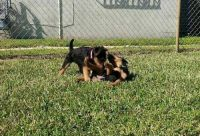 Airedale Terrier Puppies for sale in San Francisco, CA 94105, USA. price: NA