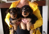 Airedale Terrier Puppies for sale in Houston, TX, USA. price: NA