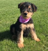 Airedale Terrier Puppies for sale in Seattle, WA 98109, USA. price: NA