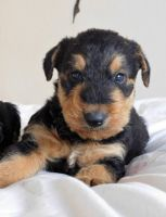 Airedale Terrier Puppies for sale in Seattle, WA 98185, USA. price: NA