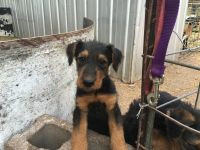 Airedale Terrier Puppies for sale in Fitzhugh, OK, USA. price: NA