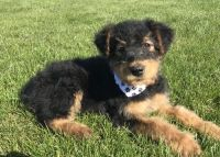 Airedale Terrier Puppies for sale in Boston, MA, USA. price: NA