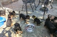 Airedale Terrier Puppies for sale in Oakland, CA 94624, USA. price: NA