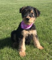 Airedale Terrier Puppies for sale in Newark, NJ, USA. price: NA