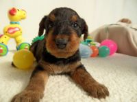 Airedale Terrier Puppies for sale in Atlanta, GA 30384, USA. price: NA