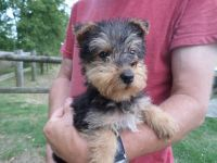 Airedale Terrier Puppies for sale in Indianapolis Blvd, Hammond, IN, USA. price: NA