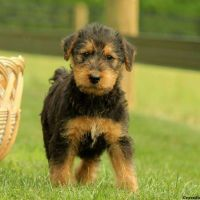 Airedale Terrier Puppies for sale in Black River Falls, WI 54615, USA. price: NA