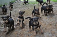Airedale Terrier Puppies for sale in Michigan City, IN, USA. price: NA