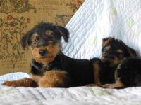Airedale Terrier Puppies for sale in New York, NY, USA. price: NA