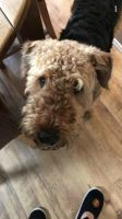 Airedale Terrier Puppies for sale in TX-249, Houston, TX, USA. price: NA