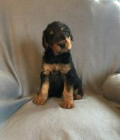 Airedale Terrier Puppies for sale in Ruffs Dale, PA 15639, USA. price: NA