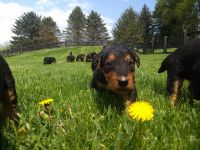 Airedale Terrier Puppies for sale in Port Matilda, PA 16870, USA. price: NA