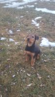 Airedale Terrier Puppies for sale in Worthington, MN, USA. price: NA