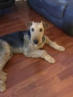 Airedale Terrier Puppies for sale in Philadelphia, PA, USA. price: NA