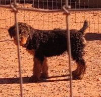 Airedale Terrier Puppies for sale in Laguna, NM 87038, USA. price: NA