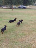 Airedale Terrier Puppies for sale in Blaine, TN, USA. price: NA