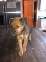 Airedale Terrier Puppies for sale in Calhoun, TN 37309, USA. price: NA