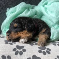 Airedale Terrier Puppies for sale in Mt Gilead, NC 27306, USA. price: NA