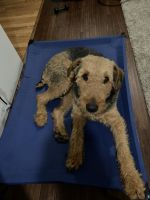 Airedale Terrier Puppies for sale in Hannibal, MO 63401, USA. price: NA