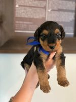 Airedale Terrier Puppies for sale in Shawnee, KS, USA. price: NA