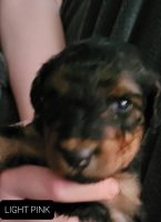 Airedale Terrier Puppies for sale in Onaway, MI 49765, USA. price: NA
