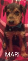 Airedale Terrier Puppies Photos
