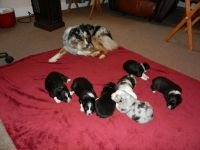 Akbash Dog Puppies for sale in Hudson, MA, USA. price: NA