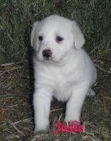 Akbash Dog Puppies for sale in Atlanta, GA, USA. price: NA