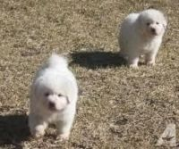 Akbash Dog Puppies for sale in Columbus, MT 59019, USA. price: NA